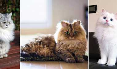 Follow up these tips to take care of Your Persian Cat